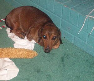 Killer, a twelve pound miniature Dachshund was shot and killed by police.