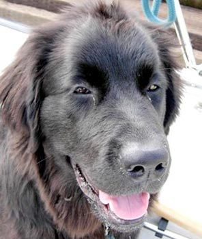 Rosie, a Newfoundland was gunned down in a neighbors yard.