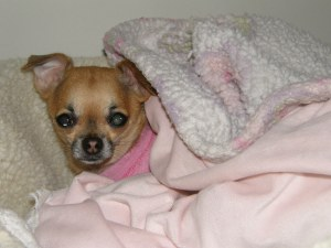 Meet Peanut a four pound two year old rescued Chihuahua on her way to becoming a therapy dog.