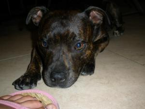 Julia's dog Sacha can not be brought to ontario to live with her family due to Ontario's BSL.