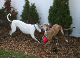 cocoa dogs mulch