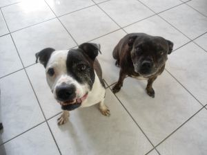 Buster and Sacha's owner moved them out of Ontario when BSL came calling. Now BSL has followed them...